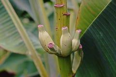 Flowering banana Royalty Free Stock Photography