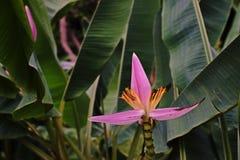 Flowering banana Stock Image