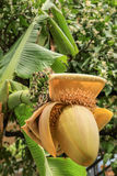 Flowering banana palms, Abkhazia Royalty Free Stock Photos