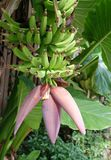 Flowering Banana Plant Stock Image