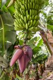 A flowering banana plant with a healthy crop of bananas. A healthy crop of bananas is hanging on a flowering banana plant. The plantation with other banana stock images