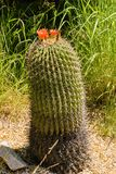 Flowering Barrel Cactus with a Red Flowers on the Top. Flowering Barrel Cactus with a red flower on the top can be found in the deserts of south western United royalty free stock image