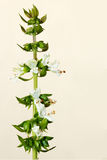 Flowering basil stalk Stock Image
