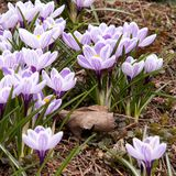 Flowering beautiful bright crocuses. Beautiful striped crocuses, the first to bloom in spring stock images