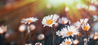 Flowering beautiful daisy in meadow Royalty Free Stock Photos