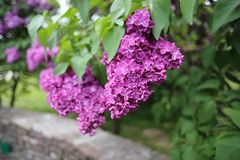 Flowering beautiful Lilac in the botanical garden in the spring royalty free stock image