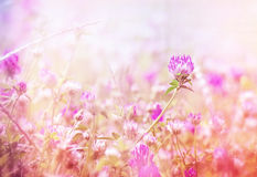 Flowering beautiful red clover Royalty Free Stock Photos