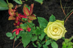 Flowering of a beautiful yellow rose. In spring Royalty Free Stock Photos