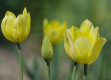 Flowering of yellow tulips. Flowering of beautiful yellow tulips in spring stock image