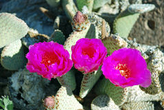 Flowering Beavertail Cactus or Opuntia basilarus near Lake Mead, Nevada. A common cactus found throughout the Mojave and Sonoran deserts of the southwest. The Stock Images