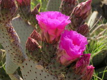 Flowering Beavertail Cactus Stock Photography