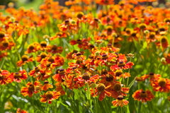 Flowering bed of gaillardia flower. In sunny summer day Royalty Free Stock Image