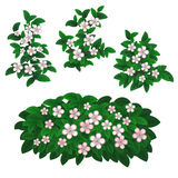 Flowering Berry plants. Phases of flourish berry growth . Illustration isolated on white stock illustration