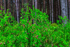 Flowering bilberry bushes in the forest.  Background. Stock Photos