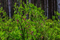 Flowering bilberry bushes in the forest.  Background. Stock Photography