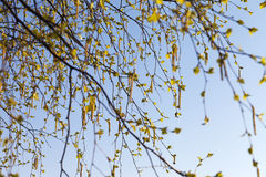 Flowering birch. Royalty Free Stock Photo