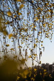 Flowering birch. Stock Image