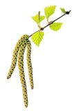 Flowering birch twig. Before white background Stock Image