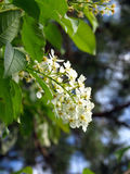 Flowering bird cherry Stock Photos