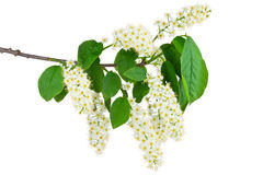 Flowering of bird cherry. Branch and blossom of bird cherry (Prunus padus). Closeup on white Royalty Free Stock Images