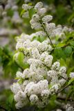Flowering bird cherry. Royalty Free Stock Photo