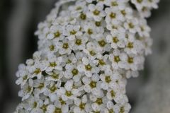 A flowering bird cherry. On a blurred background in spring after winter. Blooming of little white flowers in spring. Flowering spring Stock Images