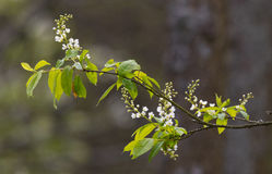 Flowering Bird Cherry (Padus avium Mill.) branch Royalty Free Stock Photos
