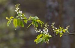 Flowering Bird Cherry (Padus avium Mill.) branch Royalty Free Stock Photos