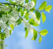 Flowering bird cherry Royalty Free Stock Images