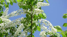 Flowering bird cherry in spring on blue sky background, branch bird cherry  shakes in the wind. stock video