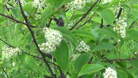 Flowering bird cherry spring close-up, branches in wind. Prunus padus. Video footage HD shooting moving with steadicam. stock video footage
