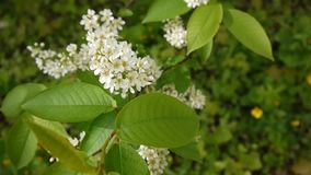 Flowering bird cherry spring close-up, branches in wind. Prunus padus. Video footage HD shooting of static camera. Flowering bird cherry spring close-up stock footage