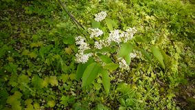 Flowering bird cherry spring close-up, branches in wind. Prunus padus. Video footage HD shooting of static camera. stock footage