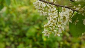 Flowering bird cherry spring close-up, branches in wind. Prunus padus. Video footage HD shooting of static camera. stock video footage