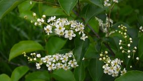 Flowering bird cherry spring close-up, branches in wind. Prunus padus. stock footage