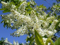 Flowering bird cherry tree Stock Images