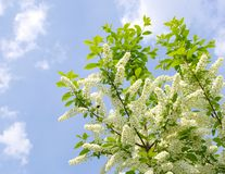 Flowering  bird cherry tree Royalty Free Stock Image