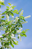 Flowering bird cherry tree Stock Image