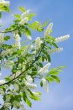 Flowering bird cherry tree. Bird cherry blossom in the spring against the blue sky Stock Image