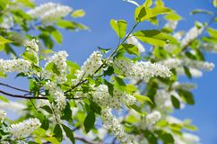 Flowering bird cherry tree Royalty Free Stock Photo