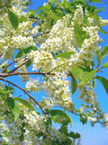 Flowering bird cherry tree Royalty Free Stock Images