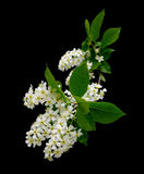 Flowering bird cherry tree on a black background Stock Photo