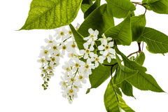 Flowering  of bird cherry tree, isolated on white background Royalty Free Stock Photography
