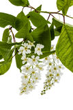 Flowering  of bird cherry tree, isolated on white background Stock Image