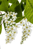 Flowering  of bird cherry tree,  on white background Royalty Free Stock Photography