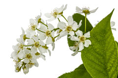 Flowering  of bird cherry tree,  on white background Royalty Free Stock Photos