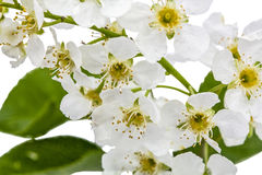 Flowering  of bird cherry tree,  on white background Stock Images
