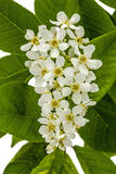 Flowering  of bird cherry tree,  on white background Royalty Free Stock Photo