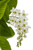 Flowering  of bird cherry tree,  on white background Stock Photo