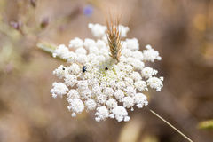 Flowering bishop's weed on a field in the south of Crete Royalty Free Stock Image